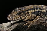 Salvator Rufescens (Red Tegu) Photographic Print by Paul Starosta