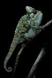 Chamaeleo Calyptratus (Veiled Chameleon) Photographic Print by Paul Starosta