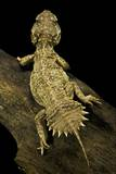 Xenagama Taylori (Taylor's Strange Agama, Dwarf Shield-Tailed Agama) Photographic Print by Paul Starosta