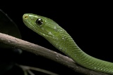 Dendroaspis Angusticeps (Common Mamba) Photographic Print by Paul Starosta