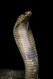 Naja Haje (Egyptian Cobra) Photographic Print by Paul Starosta