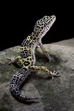 Eublepharis Macularius (Leopard Gecko) Reproduction photographique par Paul Starosta