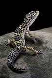 Eublepharis Macularius (Leopard Gecko) Fotografisk tryk af Paul Starosta