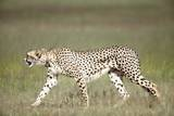 Cheetah with Radio Collar Photographic Print by Richard Du Toit