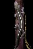 Gekko Vittatus (Lined Gecko) Photographie par Paul Starosta