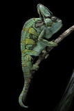 Chamaeleo Calyptratus (Veiled Chameleon) Reproduction photographique par Paul Starosta