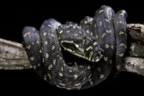 Morelia Spilota Spilota (Diamand Python) Photographic Print by Paul Starosta