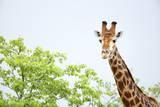 Giraffe, South Africa Photographic Print by Richard Du Toit