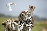 Zebra and Egrets, South Africa Photographic Print by Richard Du Toit