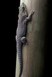 Phelsuma Standingi (Standing's Day Gecko) Photographic Print by Paul Starosta