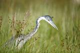 Blackheaded Heron Hunting Mice Photographic Print by Richard Du Toit