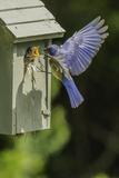 Eastern Bluebird Fotografisk tryk af Gary Carter