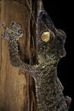 Uroplatus Fimbriatus (Giant Leaf-Tailed Gecko) Papier Photo par Paul Starosta