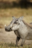 Warthog, South Africa Photographic Print by Richard Du Toit
