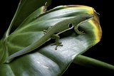 Phelsuma Quadriocellata (Peacock Day Gecko) Photographic Print by Paul Starosta