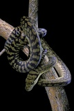Morelia Amethistina (Amethyst Python) Photographic Print by Paul Starosta