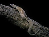 Varanus Acanthurus (Spiny-Tailed Monitor, Ridgetail Monitor) Photographic Print by Paul Starosta