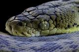 Malayopython Timoriensis (Timor Python) Photographic Print by Paul Starosta