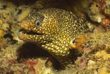 Jewel Moray Eel Photographic Print by Hal Beral