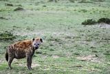 Kenya, Masai Mara National Reserve, Spotted Hyena Photographic Print by Anthony Asael