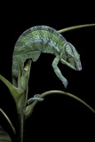 Chamaeleo Pardalis (Panther Chameleon) Reproduction photographique par Paul Starosta