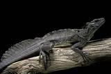 Hydrosaurus Weberi (Salfin Dragon) Photographic Print by Paul Starosta