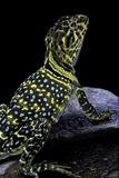 Crotaphytus Collaris (Collared Lizard) Photographic Print by Paul Starosta