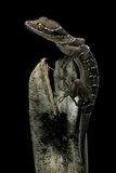 Cyrtodactylus Pulchellus (Malayan Forest Gecko) Photographic Print by Paul Starosta
