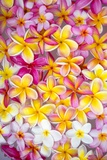 Colorful Plumeria Blossoms, Maui, Hawaii Reproduction photographique par Ron Dahlquist