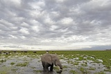 Kenya, Amboseli National Park, Elephants in Wet Grassland in Cloudy Weather Photographic Print by Anthony Asael