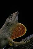 Anolis Sagrei (Cuban Brown Anole) Reproduction photographique par Paul Starosta