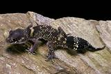 Underwoodisaurus Milii (Thick-Tailed Gecko) Photographic Print by Paul Starosta