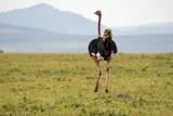 Kenya, Masai Mara National Reserve, Male Ostrich Walking in the Savanna Photographic Print by Anthony Asael