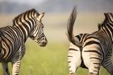 Zebra Stallions, South Africa Photographic Print by Richard Du Toit