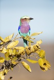 Lilac-Breasted Roller, South Africa Photographic Print by Richard Du Toit