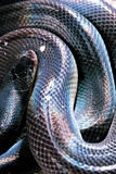 Loxocemus Bicolor (Mexican Burrowing Python) Photographic Print by Paul Starosta