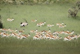 Springbok Herd Photographic Print by Richard Du Toit