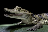 Caiman Crocodilus) (Spectacled Caiman) Photographic Print by Paul Starosta