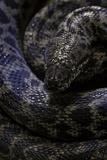Antaresia Childreni (Children's Python) Photographic Print by Paul Starosta