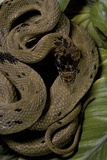 Spalerophis Diadema Attriceps (Diadem Snake) Photographic Print by Paul Starosta