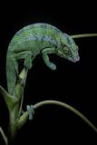 Chamaeleo Pardalis (Panther Chameleon) Photographic Print by Paul Starosta