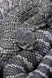 Crotalus Viridis ( Prairie Rattlesnake) Photographic Print by Paul Starosta