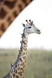 Giraffe with Oxpeckers, South Africa Photographic Print by Richard Du Toit