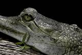 Gavialis Gangeticus (Gharial) Photographic Print by Paul Starosta