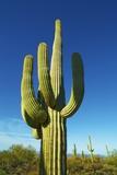 Saguaro Photographic Print by Frank Krahmer