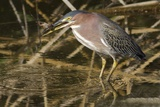 Green Heron Catchs a Crawfish Photographic Print by Hal Beral