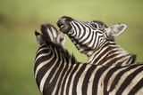 Zebra, South Africa Photographic Print by Richard Du Toit
