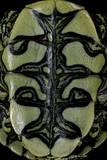 Trachemys Dorbigni (Black-Bellied Slider) Photographic Print by Paul Starosta