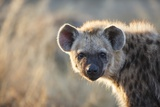 Spotted Hyena, South Africa Photographic Print by Richard Du Toit