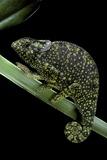Chamaeleo Dilepis (Flapneck Chameleon) Photographic Print by Paul Starosta